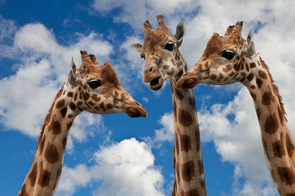 Giraffe, Wolf, Achtsame Kommunikation
